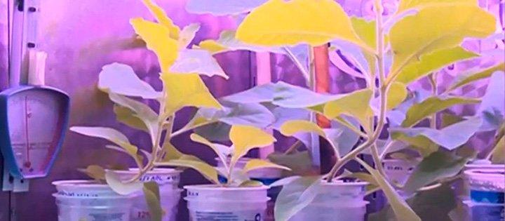 Пересадка генов растениям